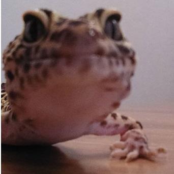 Atila, el Gecko Leopardo Dragon